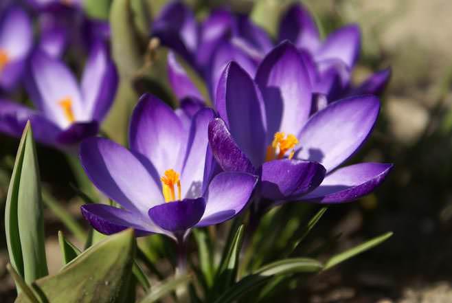 Календарь садовода рекомендует посадить в середине августа крокусы