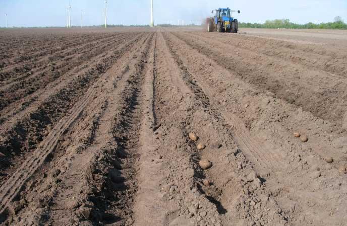 Картофель сорта «Ирбитский» рекомендуется высаживать в средней полосе России не раньше середины мая