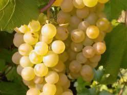 Виноград Платовский относится к белым техническим сортам