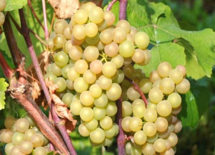От начального периода активной вегетации до полноценного вызревания виноградных кистей сорта Платовский проходит порядка 110-115 дней