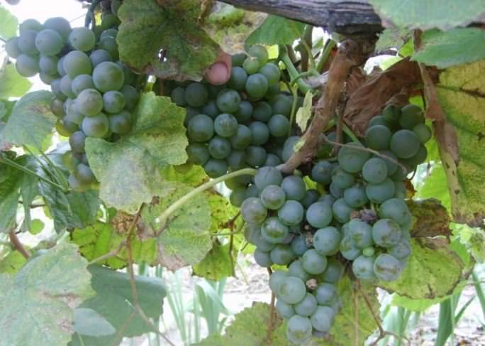 «Поамэ-Плэвае» – наиболее распространённый белый технический виноград на территории Молдавии