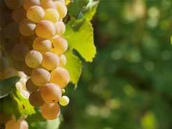 Столовый сорт «Плевен» характеризуется очень ранними сроками вызревания ягод