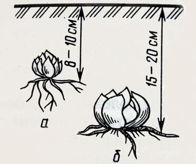 Азиатские и ЛА-гибридные лилии высаживаются на глубину не менее 8 и не более 10 сантиметров при условии мелкого посадочного материала или тяжёлых почв
