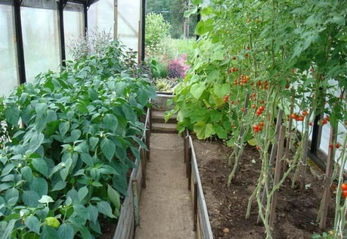 Посадка и выращивание овощных культур в тепличных условиях предполагает соблюдения требований по совмещению растений