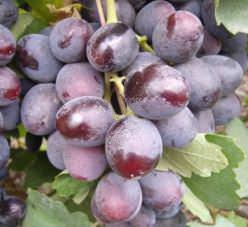 Виноград «Подарок Несветая» относится к числу перспективных гибридных форм