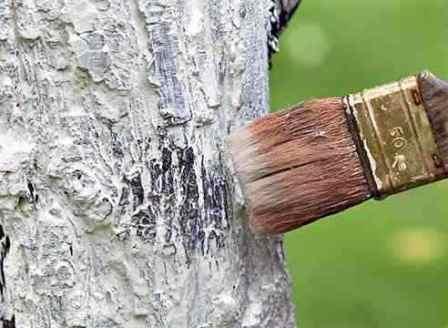 Не стоит забывать о чистке и побелке деревьев перед зимними холодами