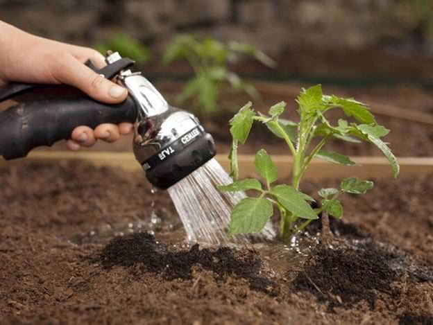 Поливы томатов по методу И.М. Маслова следует производить под корень