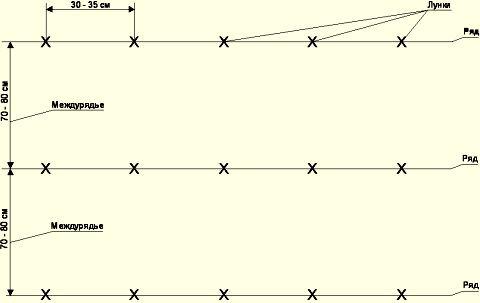 Для посадки картофеля «Ассоль» следует оставлять расстояние между рядами 70 см, а между лунками примерно 30 см