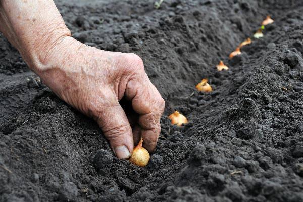В ноябре можно заняться посадкой лука и чеснока