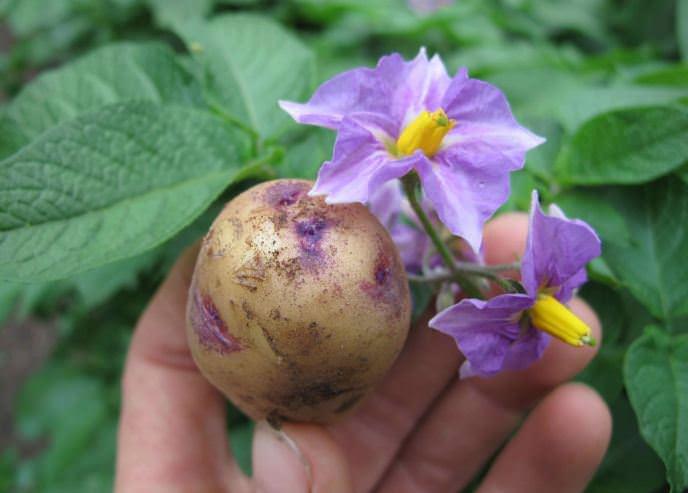 Картофель «Барон» имеет высокую устойчивость к возбудителю картофельного рака