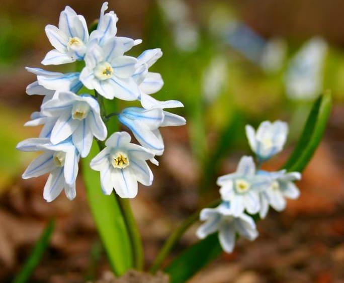 Луковичное растение пушкинию можно вырастить на своем участке