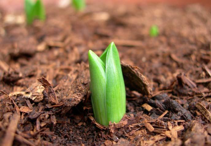Наиболее часто тюльпаны сажают осенью на клумбах или в цветниках, расположенных в достаточно освещённых местах