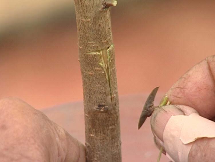 Лучшие способы летней прививки плодовых деревьев