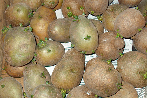 Благодаря простым и незатейливым мерам, урожай картофеля можно значительно умножить