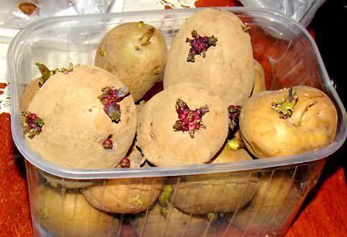 Важные процессы подготовки картофеля перед посадкой помогают не только тщательно перебрать посадочный материал и допустить на грядки только здоровые и сильные клубни, но и получить в результате своего труда великолепный урожай