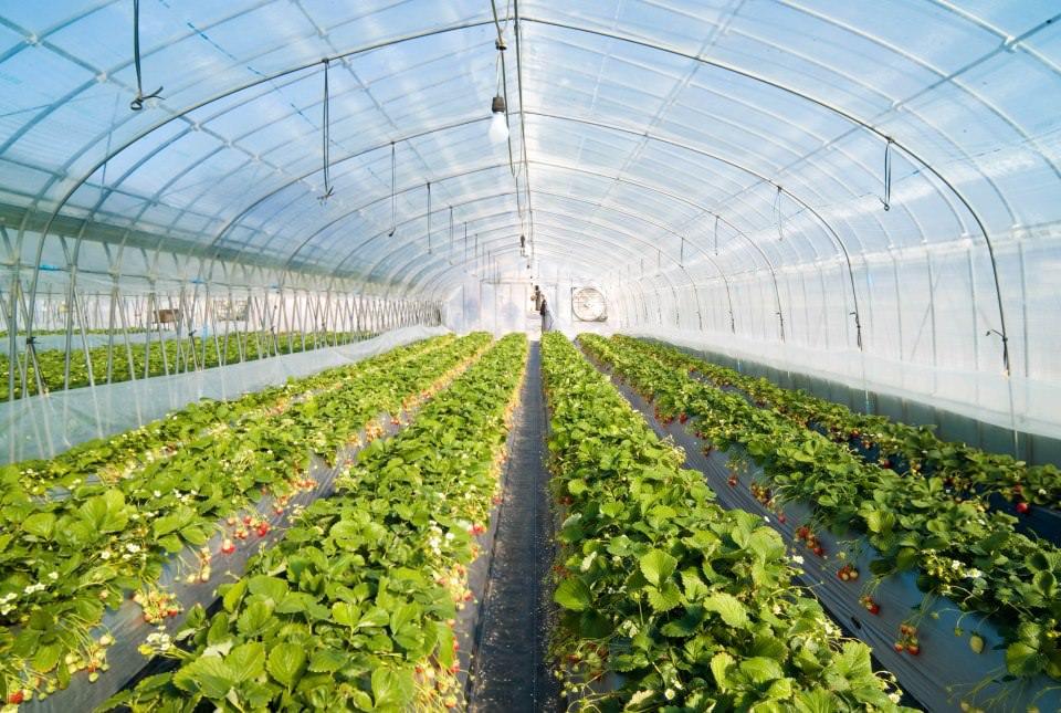 Все знания, полученные на огороде и на дачном участке, к промышленному производству культур в теплице практически никак не относятся. Все придется делать и учить по-новому