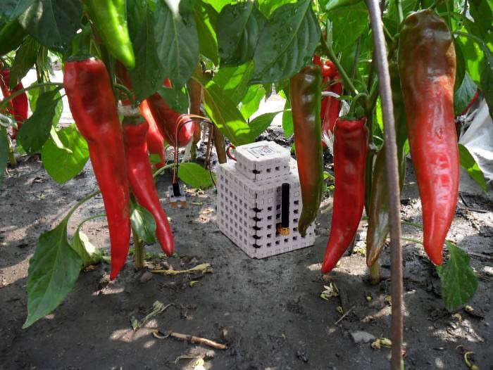 Выращивание перца в теплице