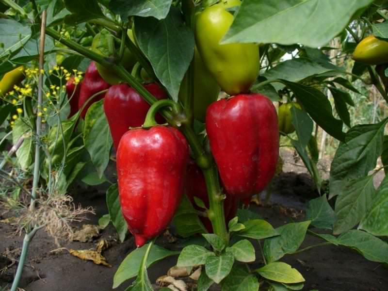 Процесс выращивания лучше начинать с марта, когда погодные условия становятся немного мягче