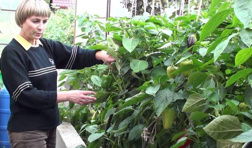 Болгарский перец в теплице любит расти в свободе