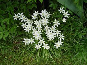 Птицемлечник представляет собой довольно неприхотливое растение с красивыми белыми цветками