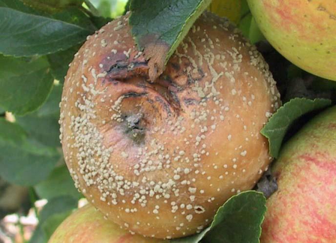 Плодовая гниль проявляется образованием пятен бурого цвета на созревающих яблоках