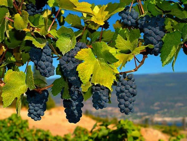 Картинки по запросу виноград фото