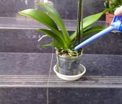 Одна из особенностей орхидеи заключается в соблюдении режима подкормок