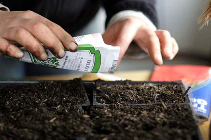 Сроки посева капусты могут незначительно варьироваться в зависимости от региона культивирования