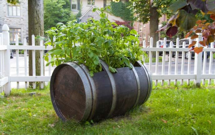 Картофельные посадки в бочке крайне редко поражаются вредителями и заболеваниями