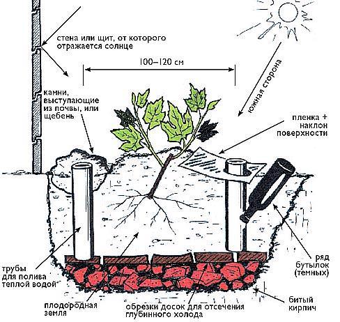 Посадка винограда сорта «Русский ранний» проводится в соответствии со стандартной технологией