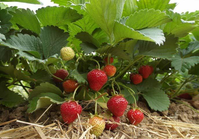 Поздно вызревающая земляника под названием «Фелиция» славится необычайно вкусными и привлекательными ягодами