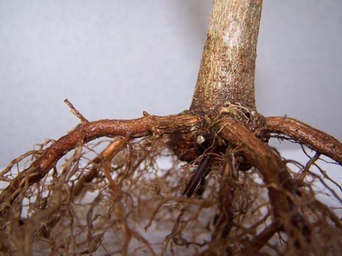Выбирая здоровый экземпляр из питомника, следует обратить внимание на корни