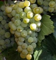Виноград «Цитронный Магарача» относится к востребованным многими виноделами техническим сортам
