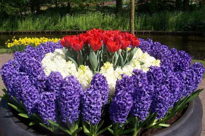 Гиацинты сочетаются практически со всеми другими весенними луковичными цветками