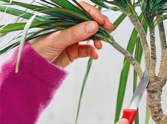 Стеблевое черенкование позволяет осуществить размножение драцены в комнатных условиях