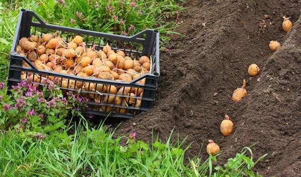 Чаще всего картофель «Джелли» сажают в заранее подготовленные борозды