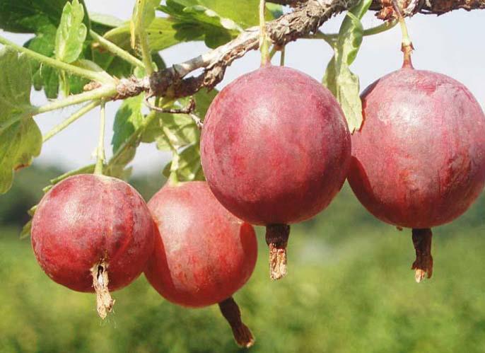 Спелые ягоды сорта «Колобок» имеют необычный вишневый цвет, но достаточно посредственный вкус