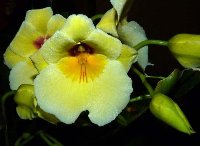 Календарь цветения комнатной орхидеи