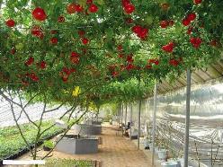 С помидорными деревьями «Спрут ф1» знакомы немногие овощеводы