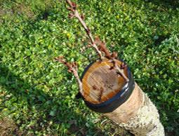 Вишня является одной из наиболее часто прививаемых садовых культур