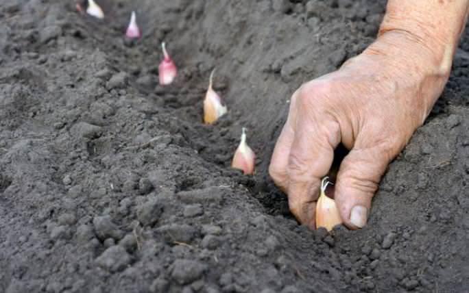 Для Западной Сибири посадку чеснока в осенний период следует начинать в середине сентября и заканчивать в первой декаде октября