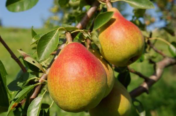 Груша «Чижовская» – среднерослое дерево с крупными плодами