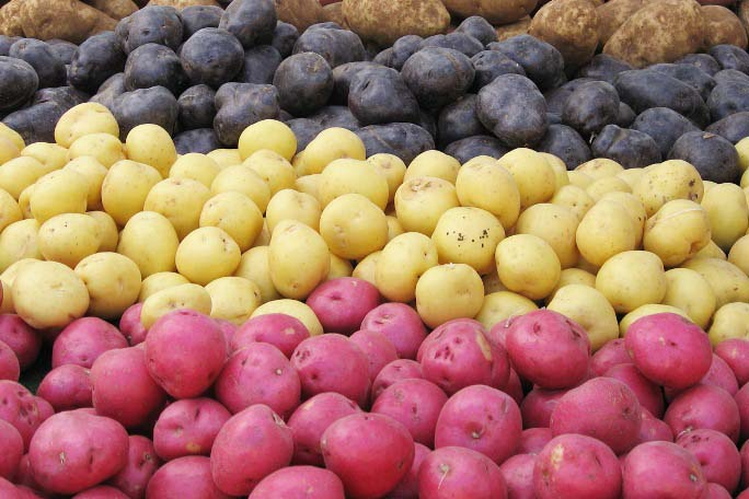 Рекомендуется высаживать сразу несколько сортов картофеля, имеющих разные характеристики
