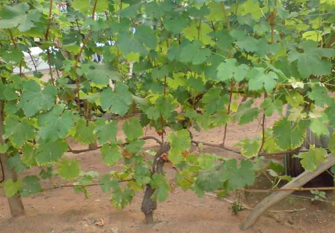 Виноград «Румба» формирует очень крепкие и хорошо развивающиеся, быстро растущие кусты