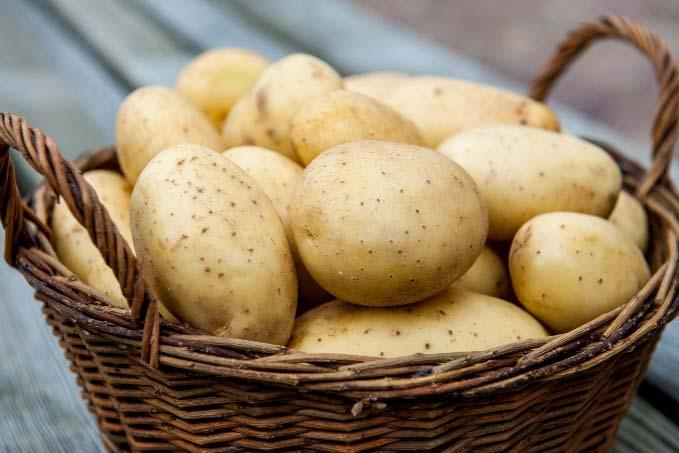 Картофель позднего созревания предназначен для выращивания исключительно в южных районах