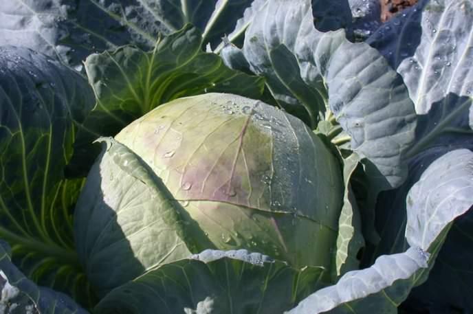 «Подарок» – среднеспелый сорт качественной белокачанной капусты