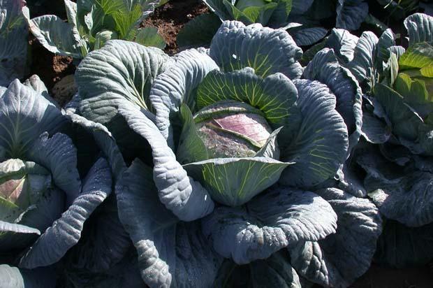 Капуста «Амагер» – сорт позднего созревания, востребован в качестве овощной продукции длительного срока хранения
