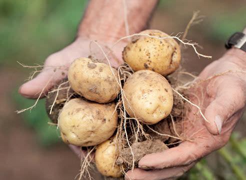 Урожайность картофеля «Голубизна» – высокая и устойчивая