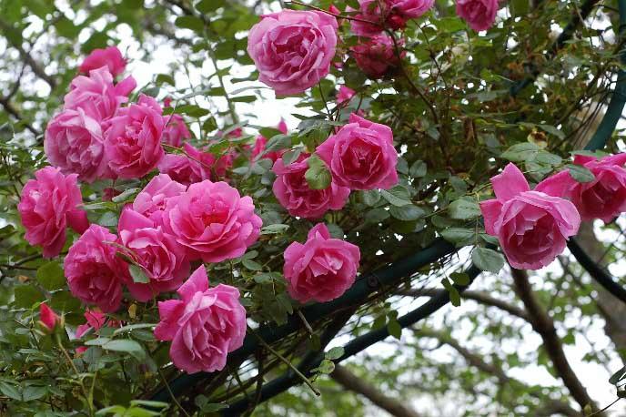 Для плетистых роз характерно редкое цветение в первый год после посадки саженцев