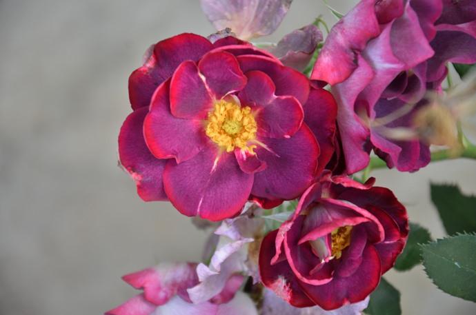 Почвопокровный вид розовых кустов стал результатом скрещивания роз Вихура с миниатюрными сортами